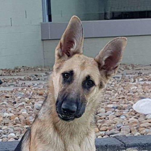 Sasha - German Shepherd Dog