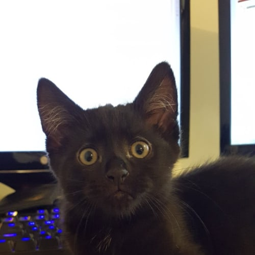 Theodore (Located in Warragul) - Domestic Short Hair Cat
