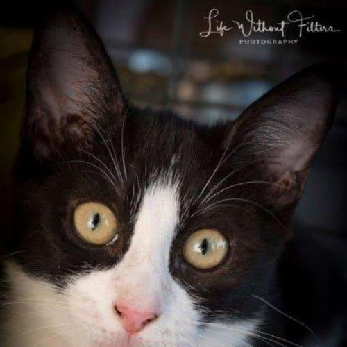 Allira - Domestic Short Hair Cat