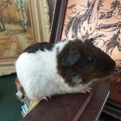 Slash - Coronet Guinea Pig