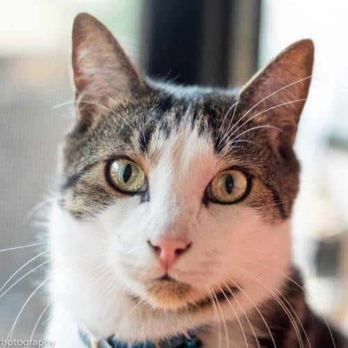 Julius  - Manx Cat