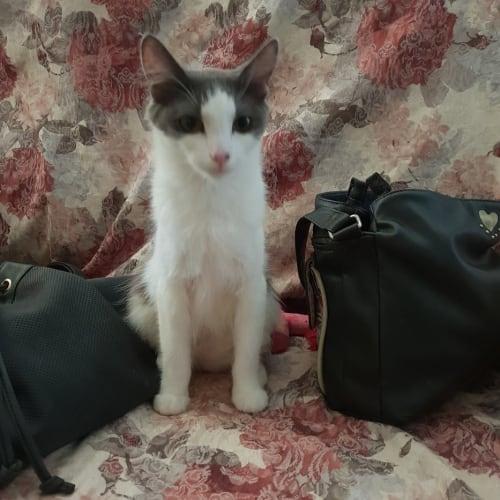 Magda - Domestic Short Hair Cat