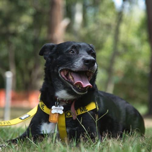 Rocky 🥊  - Australian Cattle Dog x Kelpie Dog