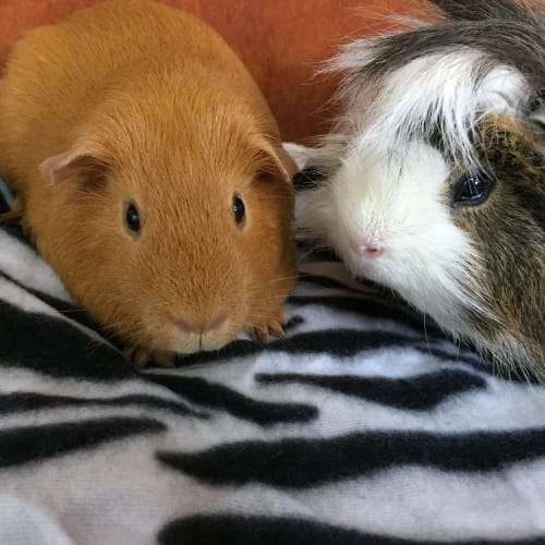 Slinky and Beboi - Smooth Hair Guinea Pig
