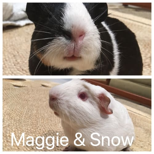 Maggie & Snow - Smooth Hair Guinea Pig