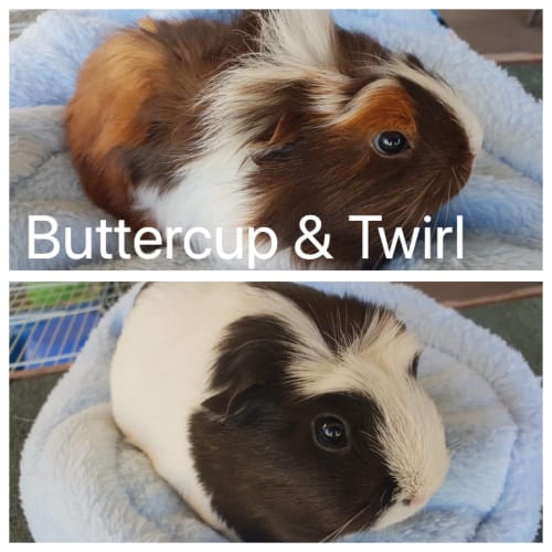 Buttercup & Twirl - Crested Guinea Pig