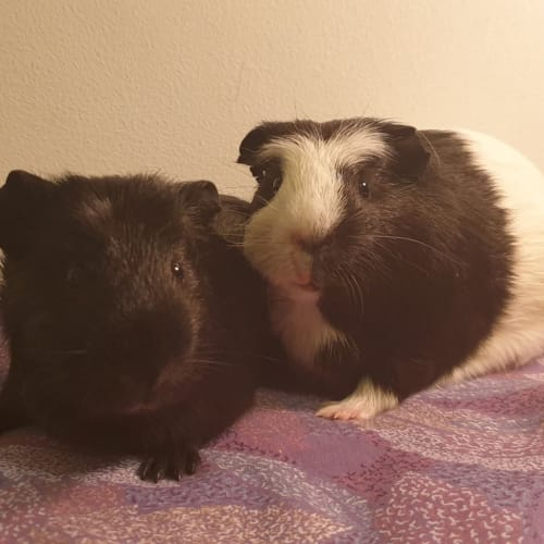 Sourdough and Rye - Crested Guinea Pig