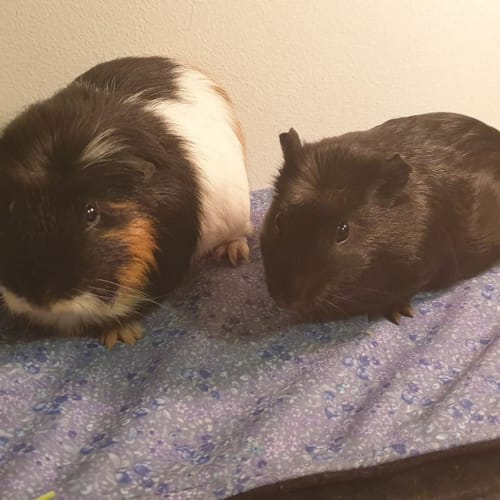 Toast and Croissant -  Guinea Pig