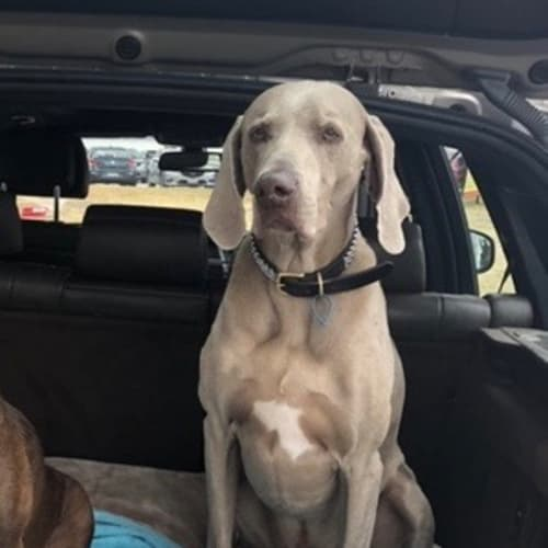 Ziggy (& Lola) - Weimaraner Dog