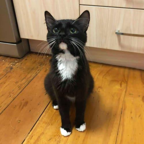 Maria - Domestic Short Hair Cat