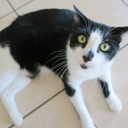 Steve - Domestic Short Hair Cat