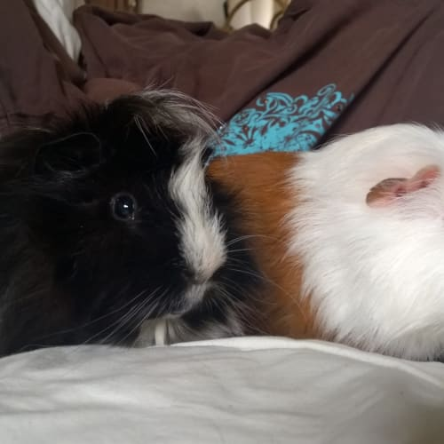 Merry and Pippin - Guinea Pig