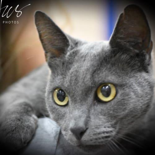 Moony - Domestic Short Hair Cat