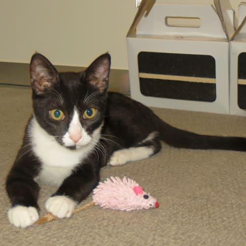 Milo - Snowshoe Cat