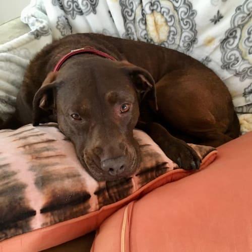 Lola (& Ziggy) - Kelpie x Labrador x Staffy Dog