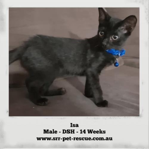Isa - Domestic Short Hair Cat