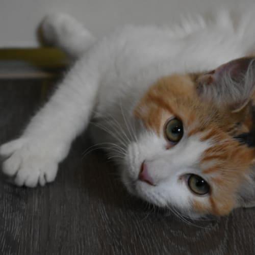 6 Mth Sweetheart Amber - Angora x Domestic Medium Hair Cat