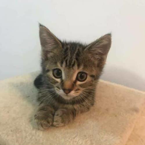 Cha Cha - Domestic Short Hair Cat