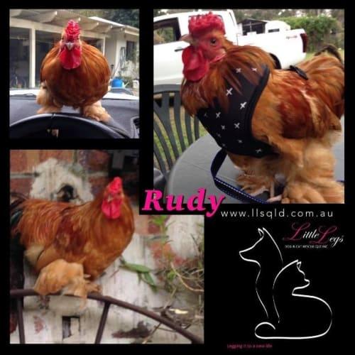 Rudy - Bantam Chicken