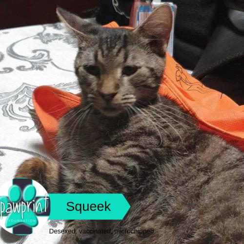 Squeek - Domestic Short Hair Cat