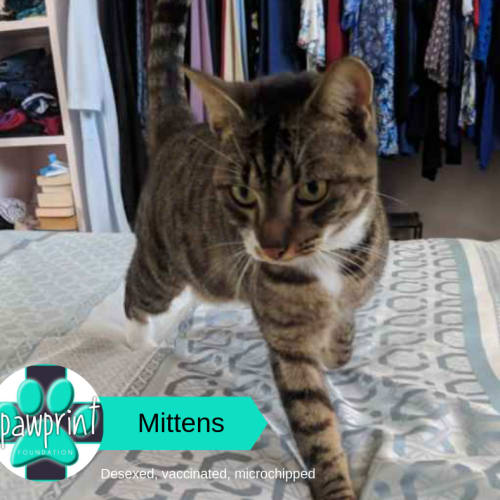 Mittens - Domestic Short Hair Cat