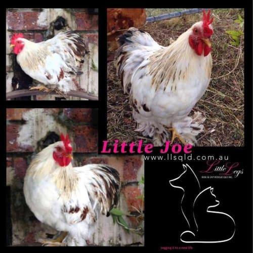 Little Joe - Bantam Chicken
