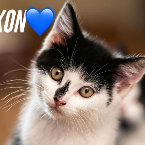 Jaxon - Domestic Short Hair Cat