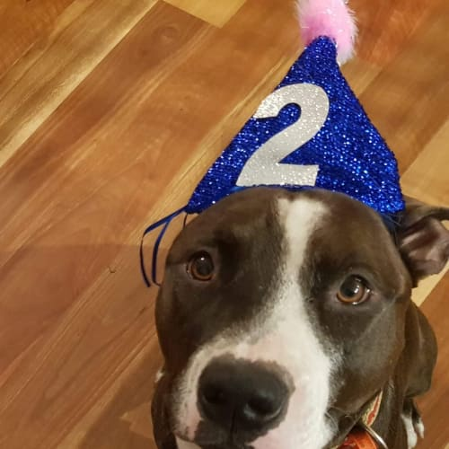 Benson  - American Staffordshire Bull Terrier Dog