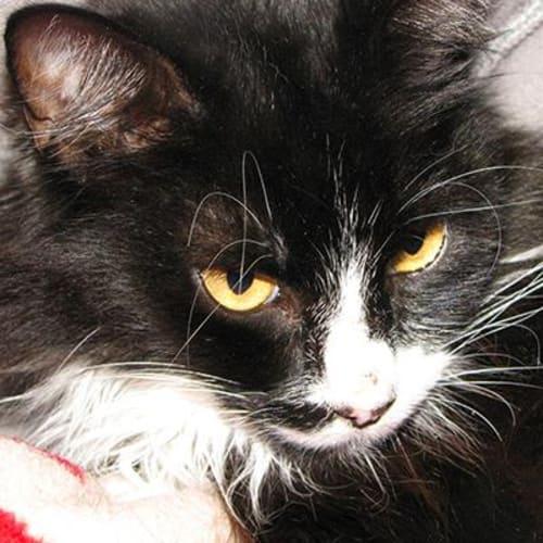 Alfie 914545 - Domestic Medium Hair Cat