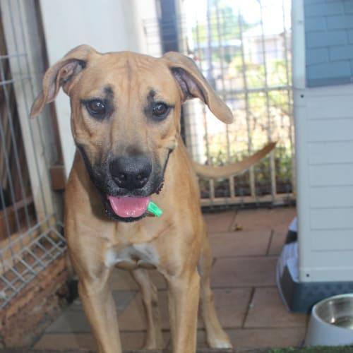 Duke  - Bullmastiff Dog