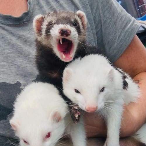 Elwood, Jake & Rebel -  Ferret