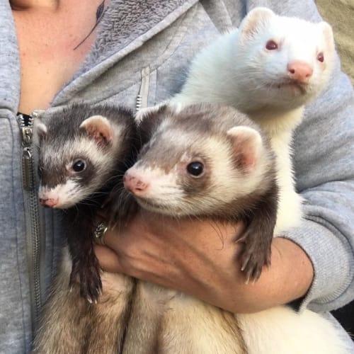 Beavis, Yuki & Amy -  Ferret