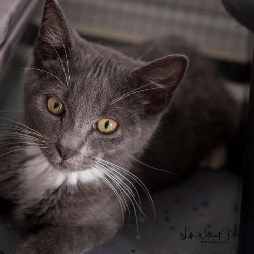 Jontae - Domestic Short Hair Cat