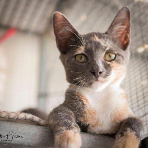 Jamani - Domestic Short Hair Cat