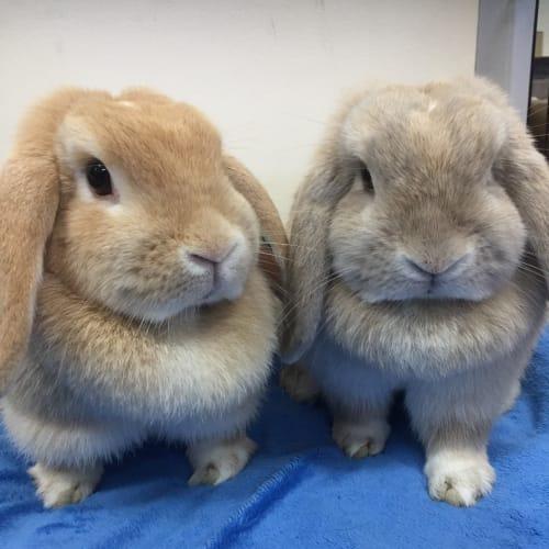 Lucy and Poppy - Dwarf lop Rabbit