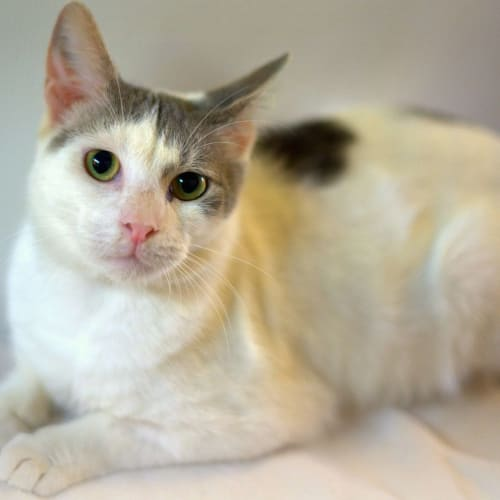 Evan - Domestic Short Hair Cat