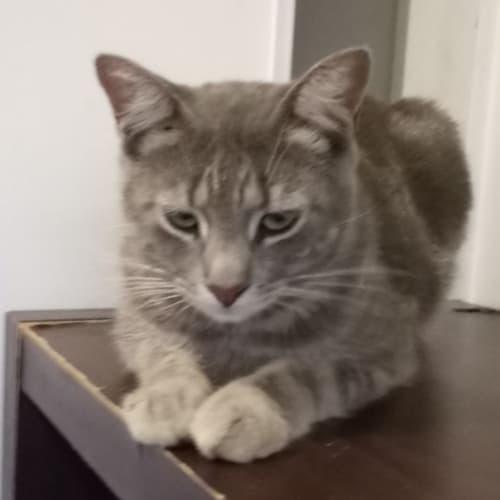 Nero - Russian Blue Cat