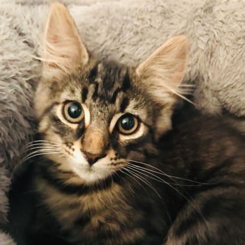 Hugo - Domestic Medium Hair Cat