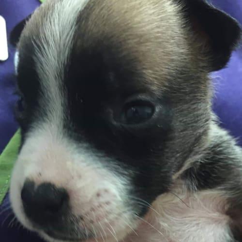 Ron - Johnson Bulldog x Mastiff Dog