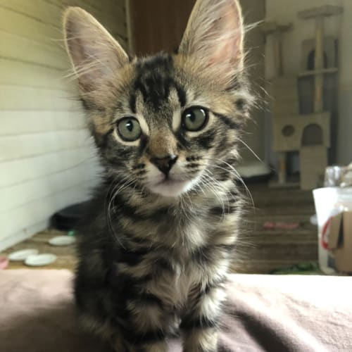 Mowgli - Domestic Medium Hair Cat