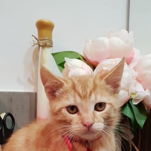 Cooper - Domestic Long Hair x Domestic Short Hair Cat
