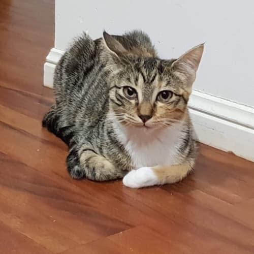 Elly - Domestic Short Hair Cat