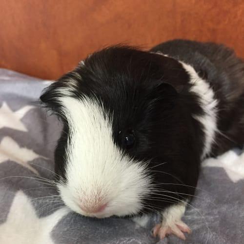 Crumble - Guinea Pig