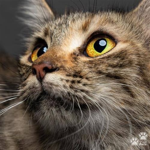 AC1102 - Indica - Domestic Short Hair Cat