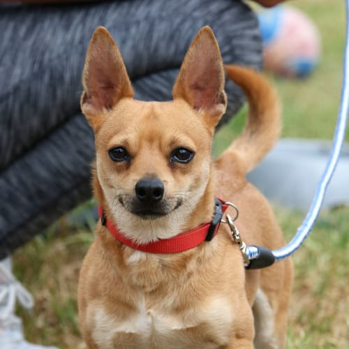Toby - Chihuahua x Jack Russell Terrier Dog