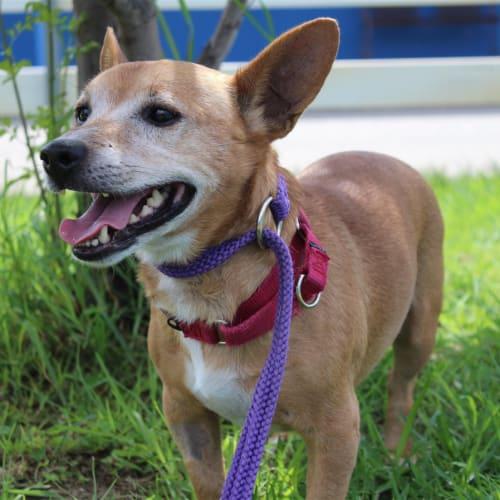 Bear - Small Terrier Cross Dog
