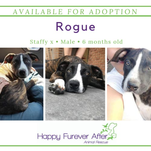 Rogue - Staffordshire Bull Terrier Dog