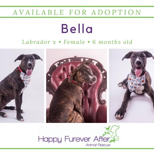 Bella - Mastiff Dog