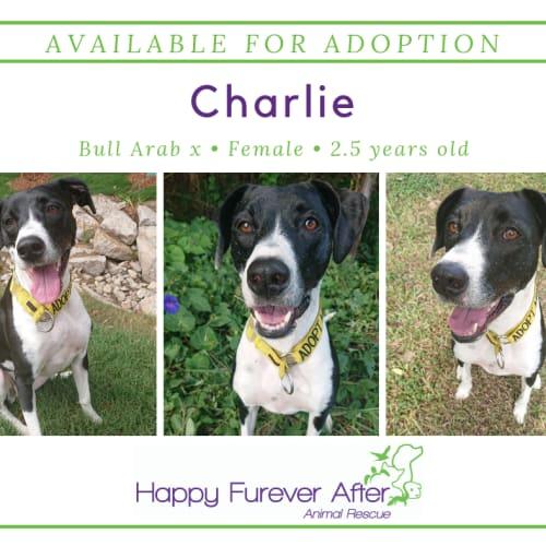 Charlie - Bull Arab Dog