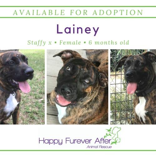 Lainey - Staffordshire Bull Terrier Dog